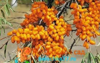 Облепиха: выбор черенков, как сажать весной и посадка осенью, особенности выращивания и ухода за растением