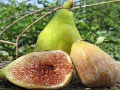 Инжир — винная ягода. выращивание в домашних условиях. фото — ботаничка.ru