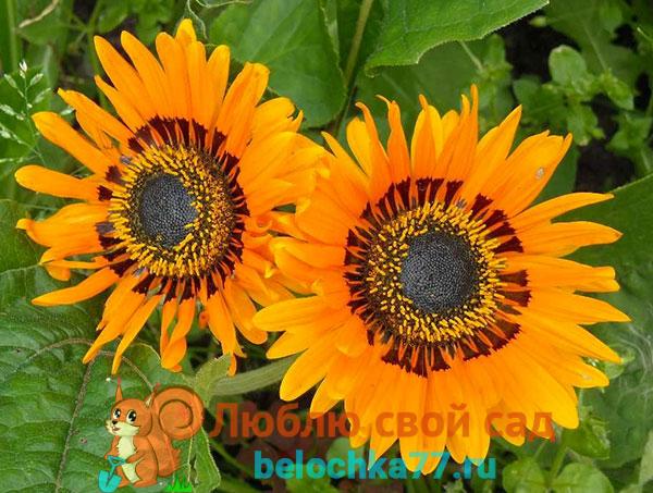 Красивые цветы с экзотическим названием остеоспермум: посадка и уход