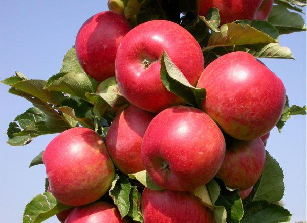 как определить сорт яблок