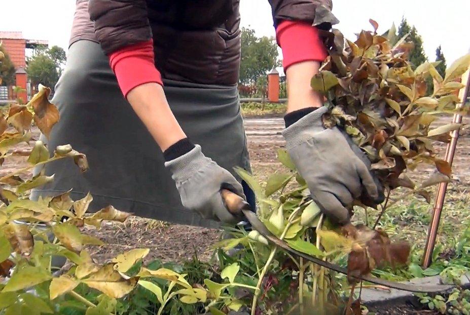 уборка георгинов осенью и хранение