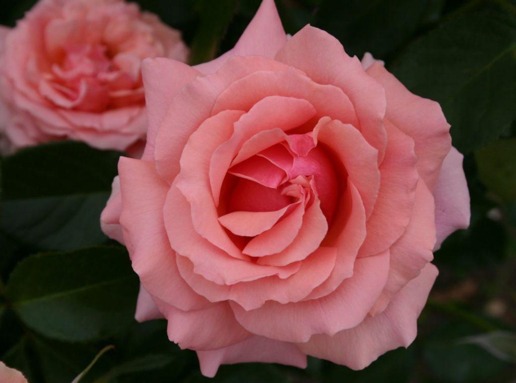 Стихи розы - сборник красивых стихов в доме солнца