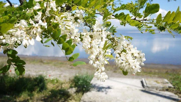 Черемуха: описание дерева, посадка и уход, обрезка