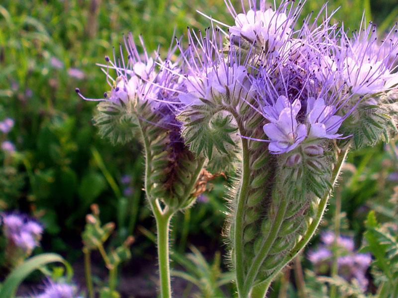 Сидераты: когда сеять и закапывать (запахивать)