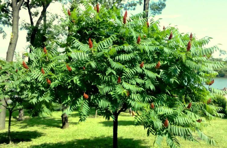 уксусное дерево википедия