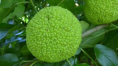 Маклюра адамово яблоко: полезные свойства и как приготовить настойку для суставов | все о суставах и связках