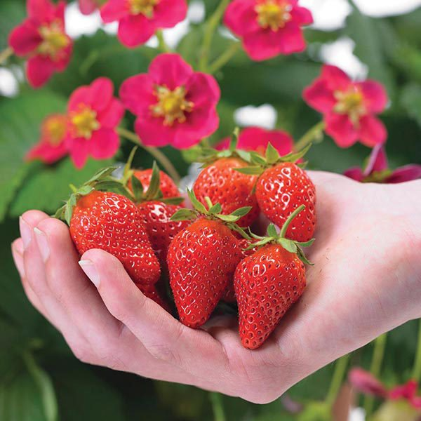 Выращивание клубники в домашних условиях, а также, какие сорта лучше выращивать на балконе с описанием, характеристикой и отзывами