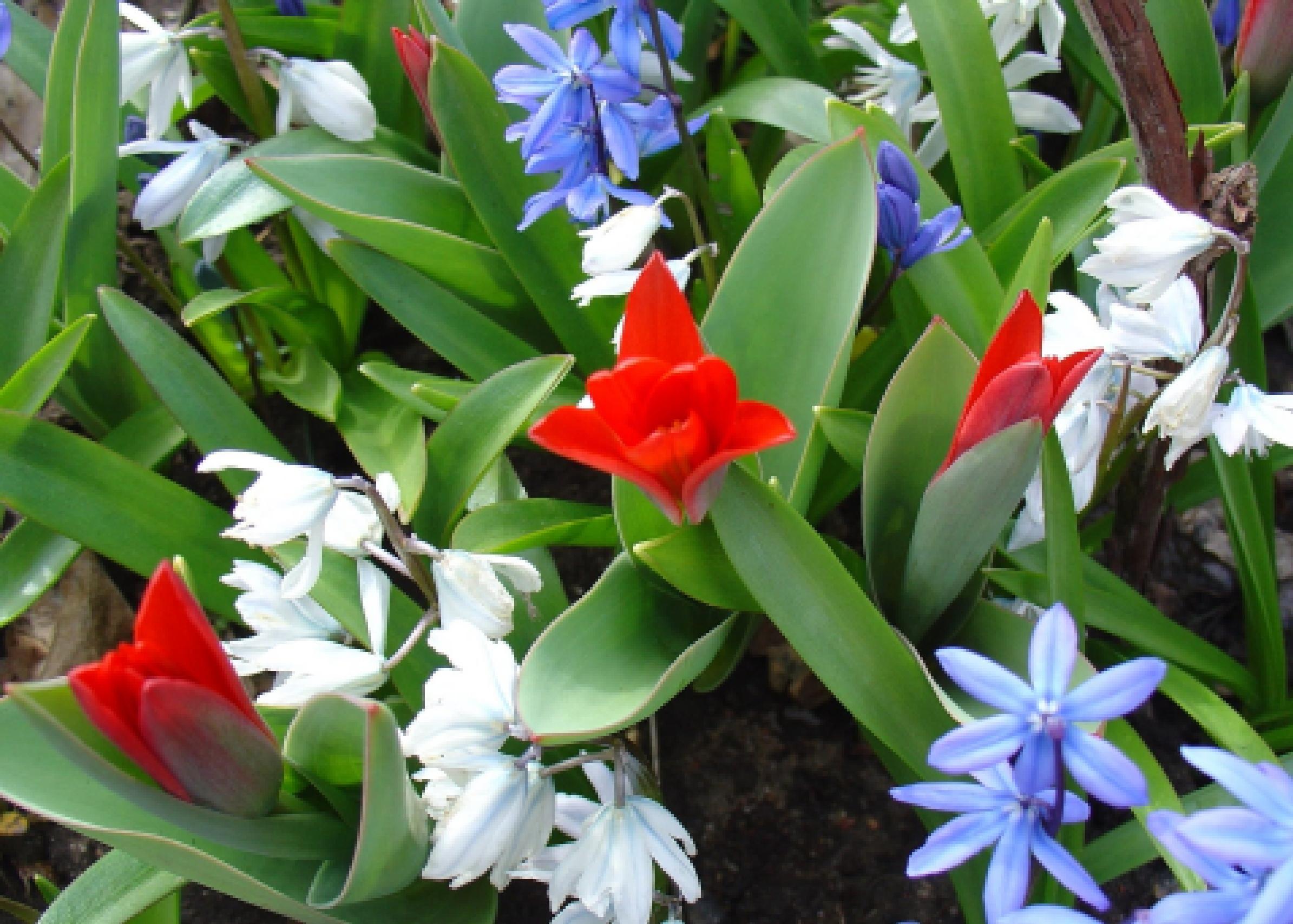 луковичные цветы многолетники