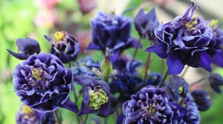 Цветок аквилегия (водосбор): фото растения, посадка, уход в открытом грунте, описание видов и сортов