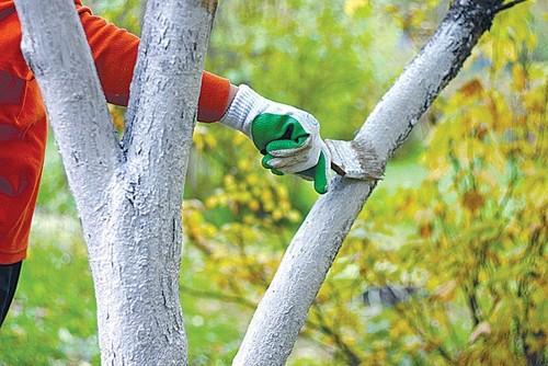 Как избавиться от мха и лишайников на плодовых деревьях? – дачные дела