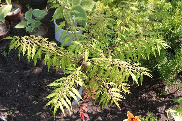 Дерево сумах оленерогий: уход и размножение | сажаем сад