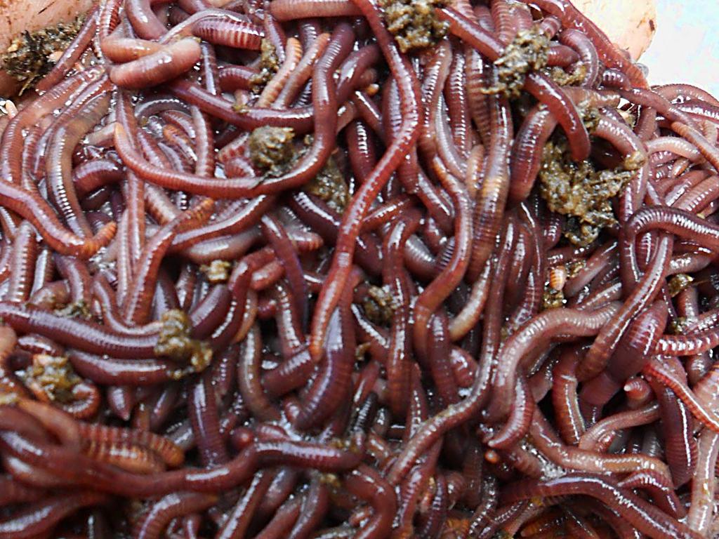 Купить червей для биогумуса