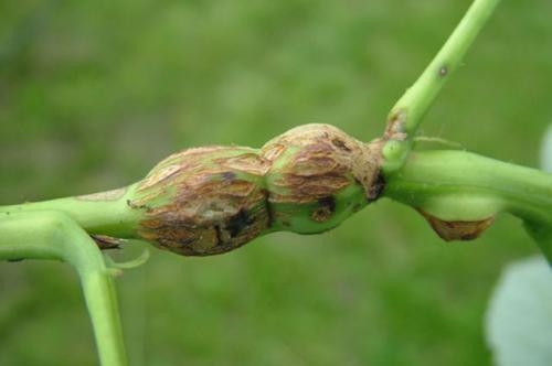 Болезни малины: фото и их лечение