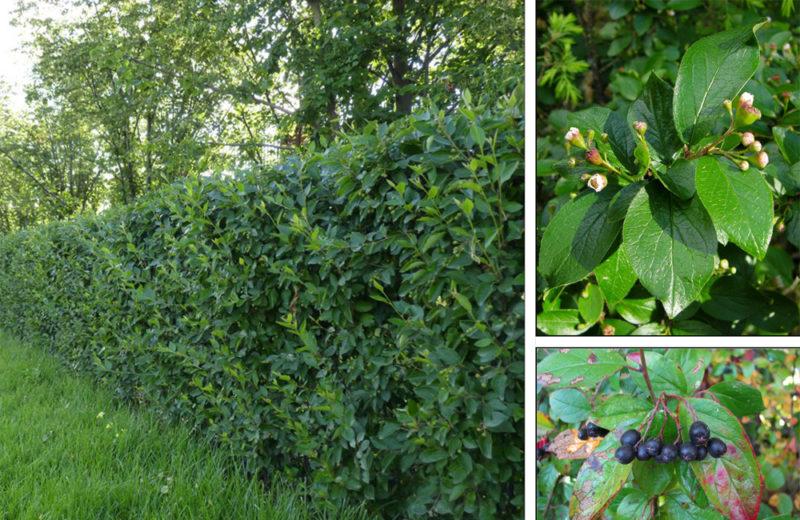 Кизильник черноплодный – растение для пользы души и тела