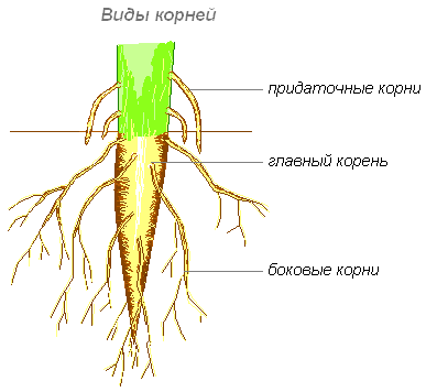 корневые системы растений