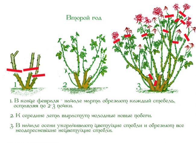 обрезка роз осенью в подмосковье