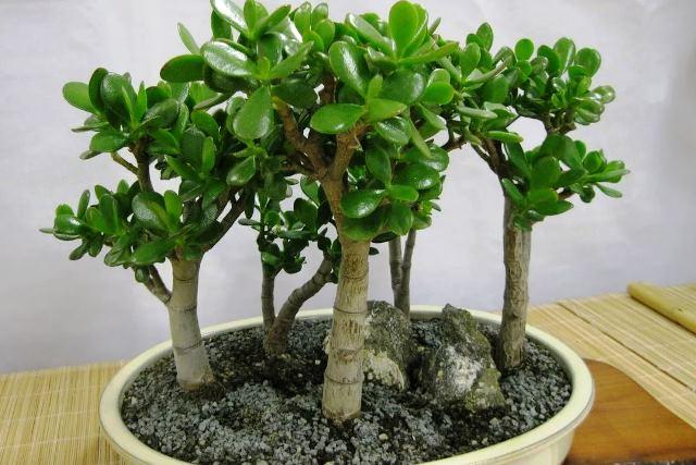 Денежное дерево selo.guru — интернет портал о сельском хозяйстве