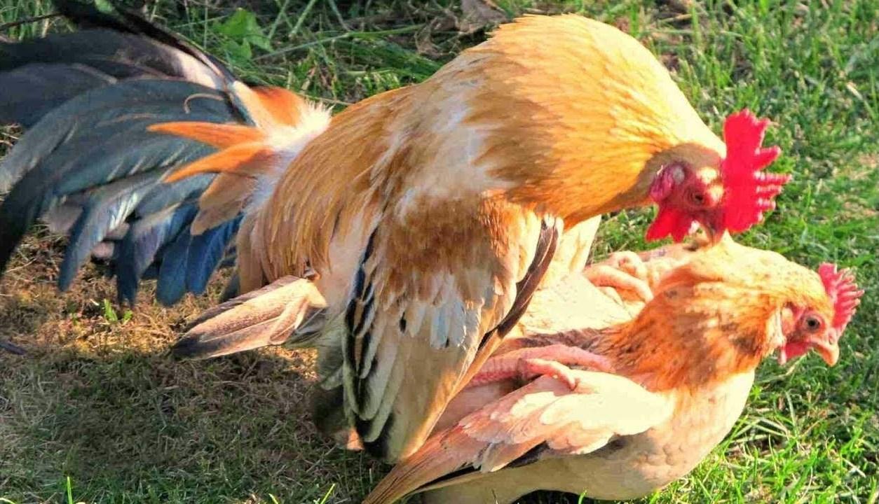 Как размножаются курицы: как петух оплодотворяет курицу
