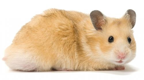 Домашние грызуны: список видов для домашнего содержания, каких лучших завести дома и в квартире