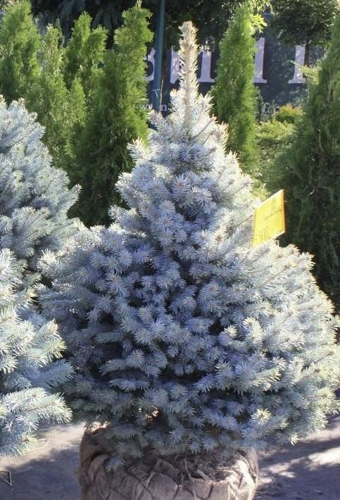 Ель «супер блю» (10 фото): описание сорта колючей голубой ели. «супер блю сидлинг» в ландшафтном дизайне. высота и характеристика взрослого дерева