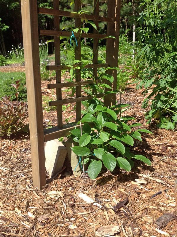 Выращивание актинидии: описание сортов с фото, посадка и уход, отзывы