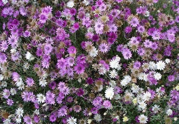 Названия сухоцветов. фото сухих цветов