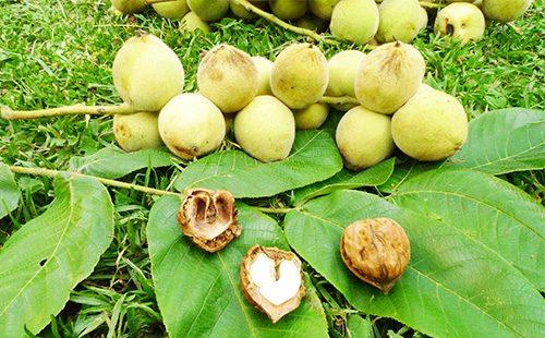 Чем полезен маньчжурский орех