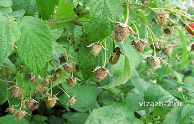 Малина садовая: выращивание, посадка и уход