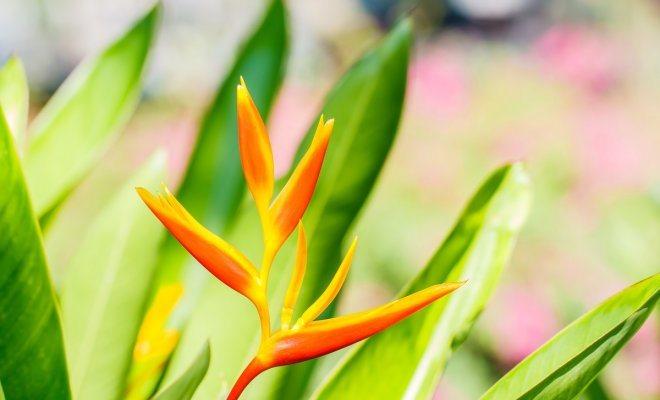 Канны: выращивание, виды и сорта