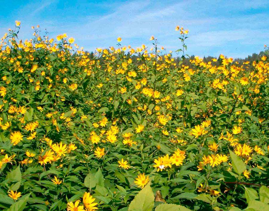 Топинамбур агротехника выращивания