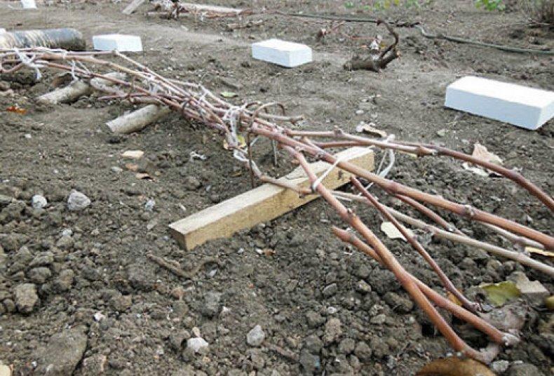 подготовка винограда к зимовке в средней полосе