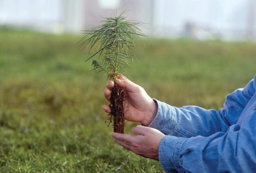 когда лучше сажать хвойные деревья