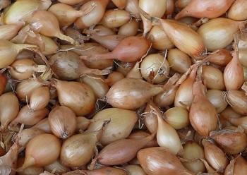 как сажать озимый лук севок осенью
