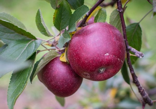 Сорт яблони лобо: характеристика, преимущества и недостатки, уход за деревом и отзывы