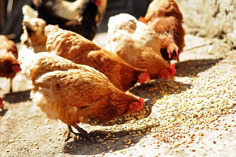 Состав и приготовление комбикорма для кур несушек