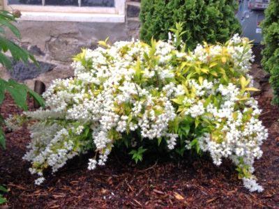 Катальпа: посадка и уход в открытом грунте, выращивание в саду