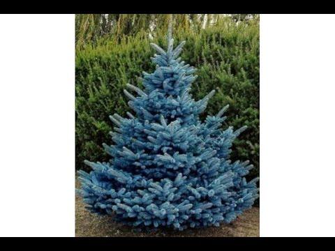 Ель «блю даймонд» (15 фото): описание сорта колючей голубой ели. применение в ландшафтном дизайне, посадка и уход