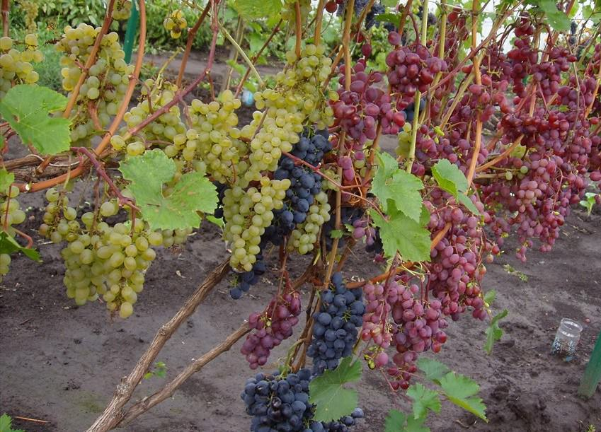 как закрывать виноград на зиму на даче