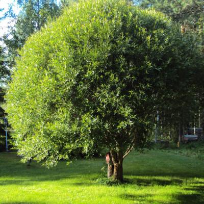 Декоративные деревья для подмосковья: какие лучше выбрать для ландшафтного дизайна