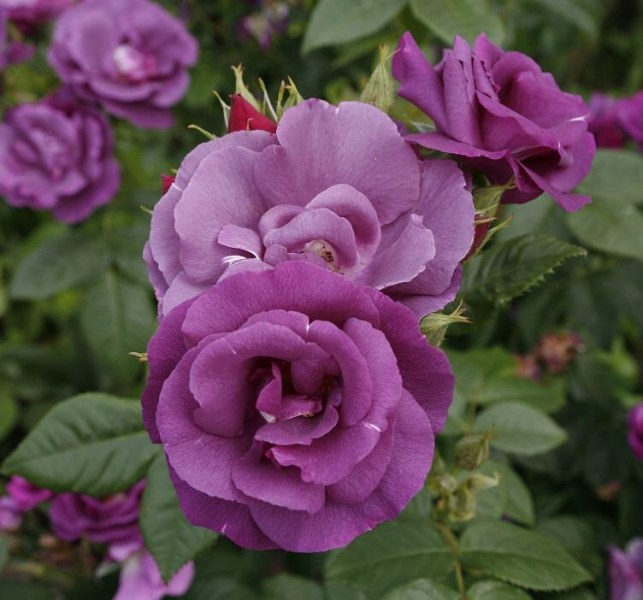 Роза «рапсодия ин блю»: описание сорта, фото и отзывы
