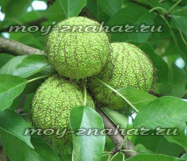 Адамово яблоко (маклюра): лечебные свойства и применение, рецепты настоек, состав и противопоказания