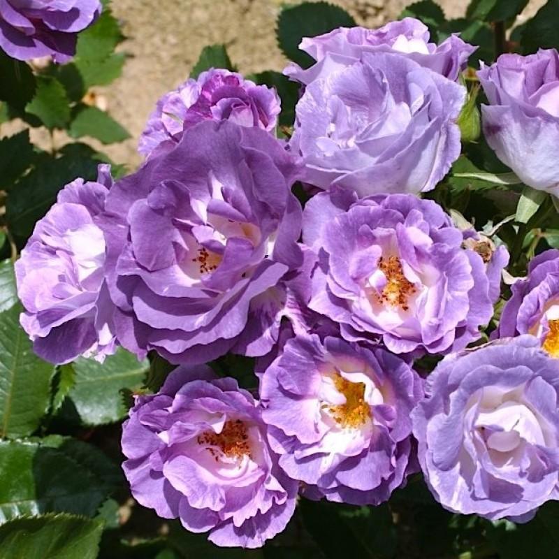 роза рапсодия ин блю