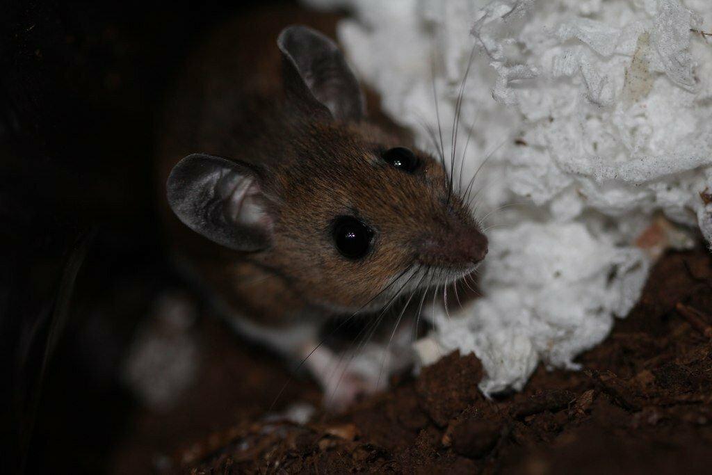 Почему в минвате заводятся мыши