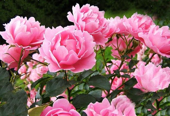 красивые цветы пионы