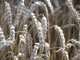 6 декоративных злаков, которые можно вырастить из семян на supersadovnik.ru