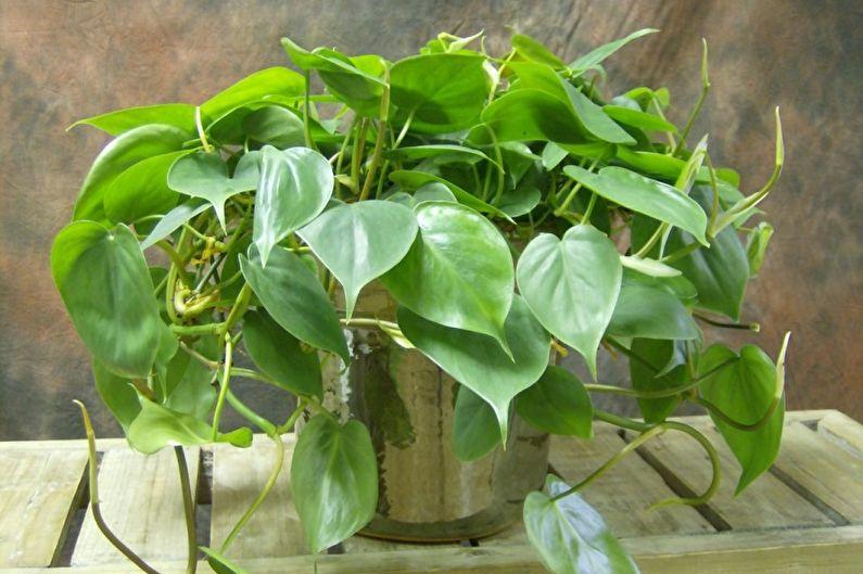 растение вьюн