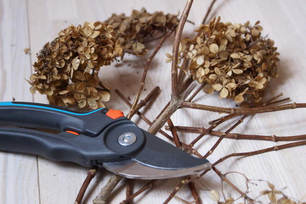 схема обрезки метельчатой гортензии осенью