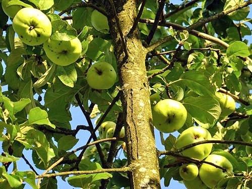 Описание сорта яблони аркадик