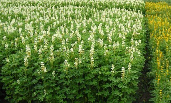 Удобрения-сидераты: что это такое, какие лучшие, под какие растения сеять, таблица сравнения