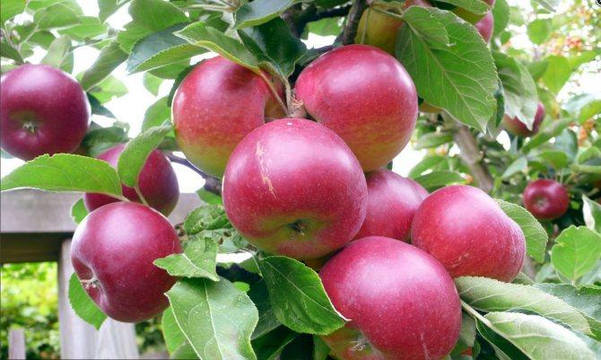 Секреты подкормки молодых яблонь осенью